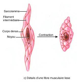 fibre musculaire lisse leiomyocyte infirmier