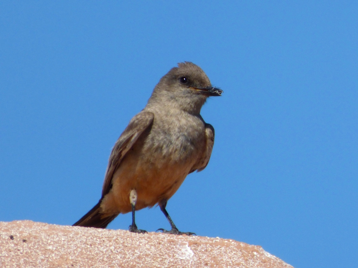 Geotripper S California Birds Say What Oh A Say S Phoebe At Pecos National Historical Park