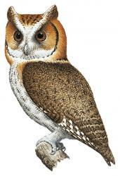 Visayan Scops Owl