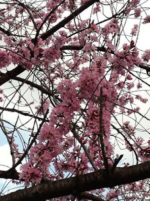 Blooming Cherry Blossom at Osaka Castle Park Japan