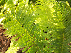 My Ferns