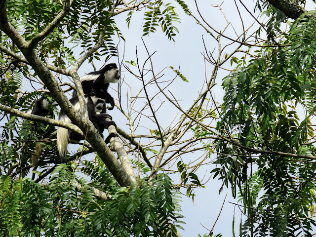 Black and white colobus monkeys in Uganda
