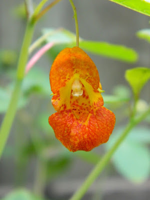 Impatiens capensis Spotted Jewelweed Toronto native plants by garden muses-not another Toronto gardening blog