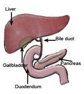Pankreas karaciğere insülin salgılaması için talimat verir