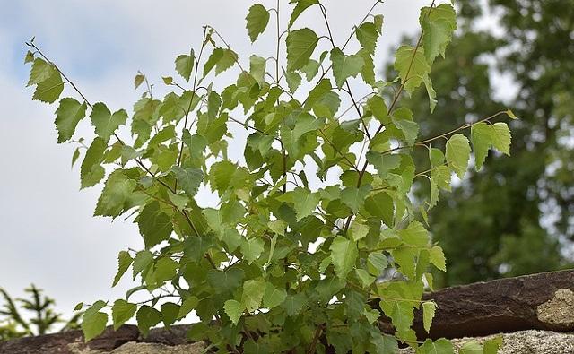 Abedul gris Betula populifolia