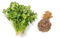 Kişniş bitkisi ve yanında öğütülmüş ve öğütülmemiş olan tohumları