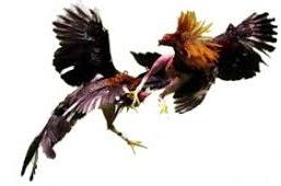 Keberuntungan Sabung Ayam Aduan Tergantung Dari Perawatannya