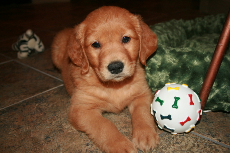 All About Golden Retrievers!: All about Red Golden Retrievers
