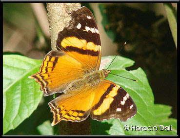 Mariposa bella Hypanartia bella