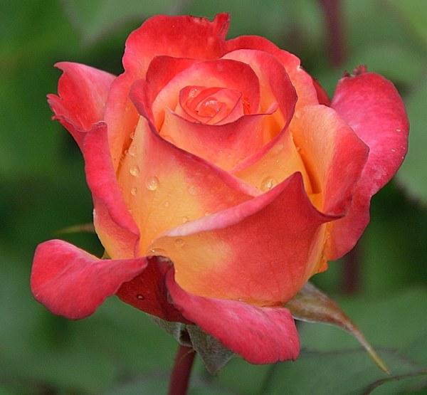 Marseille en Fleurs роза сорт фото Минск купить саженцы