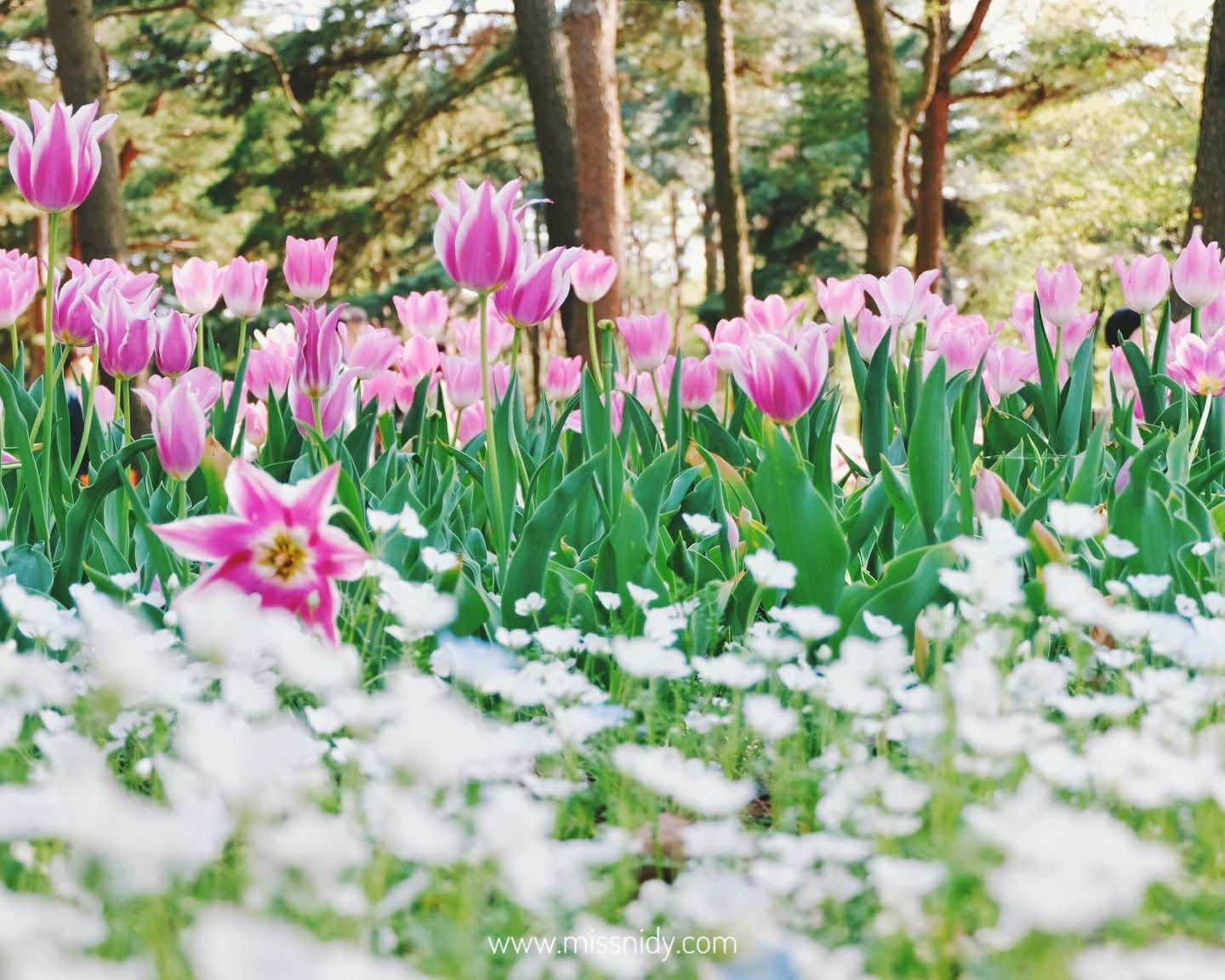 tulip garden at hitachi seaside park