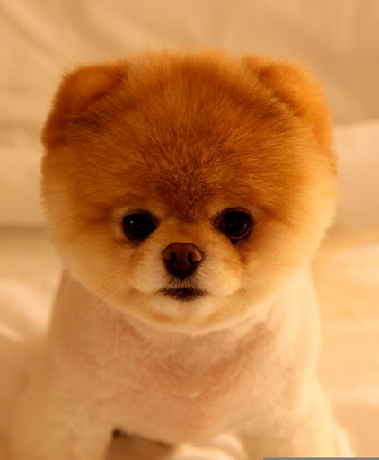 My Ultimate Obsession: Pomeranian: Grooming Cut & Styles