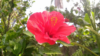 Auto Mode - Sample photo - Asus Zenfone Selfie Gumamela flower Hibiscus