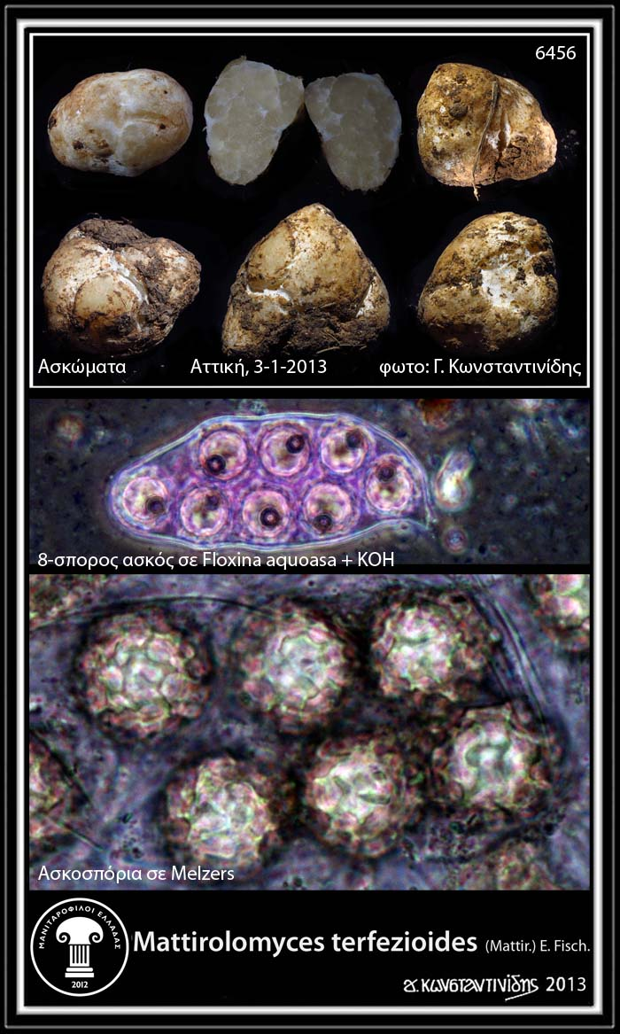 http://3.bp.blogspot.com/-MwaTx7_FzkE/UOsi1wHdOQI/AAAAAAABYSQ/gOukkWDmYak/s1600/Mattirolomyces+terfezioides_2.jpg
