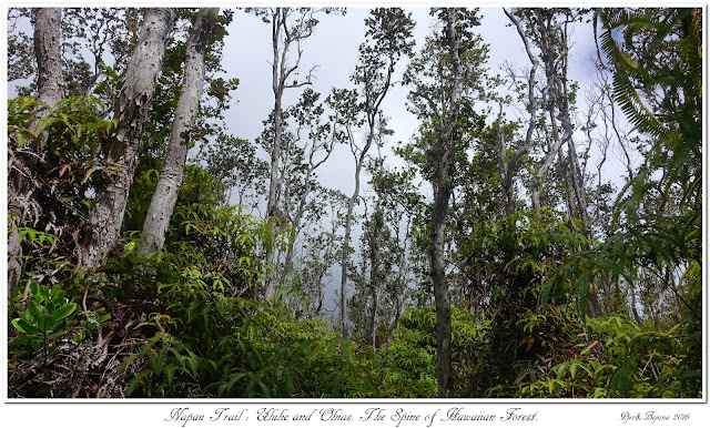 Napau Trail: Uluhe and Ohias. The Spine of Hawaiian Forest.