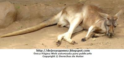 Foto del canguro rojo descansando en el Parque Zoológico de Huachipa. Foto del canguro tomada por Jesus Gómez