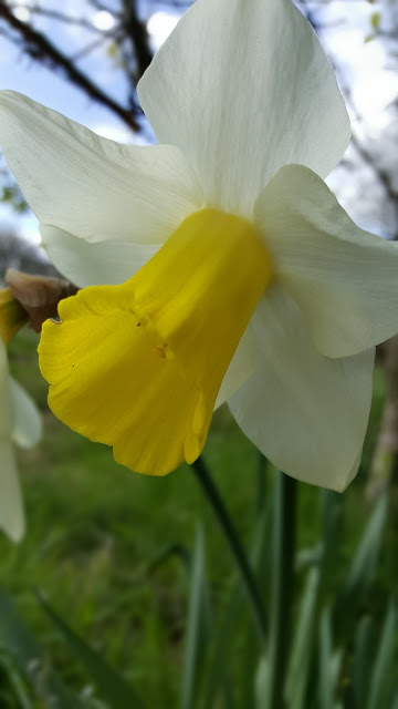 Spring-flowers-daffodils-nature