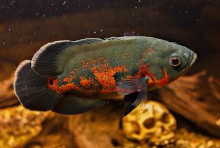 Jenis Ikan Oscar dan Harganya, Oscar Tiger