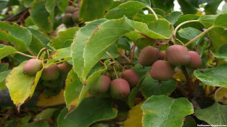 Hardy-kiwi fruit images wallpaper