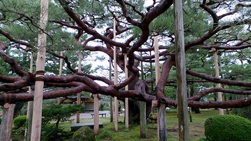 Lems Levity Historic White House Jackson Magnolia Tree To Be Cut Down