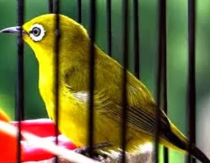 dimanapun anda berada niscaya ingin burung jagoannya  Tips Agar Burung Kacamata Jinak Gacor