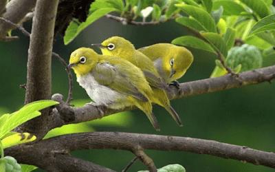 19 Macam Jenis Burung Pleci Terbaik (Lengkap Plus Gambar) - Unsur Rimba eedf75e0a5