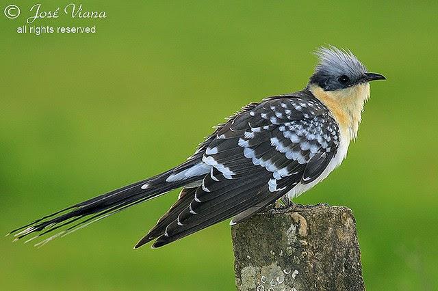 parasitismo ejemplos pájaros