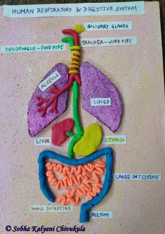 Modeling Dough Digestive System Diagram Block And Schematic Diagrams