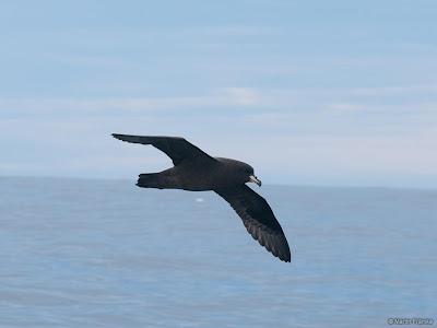 Petrel negro Procellaria westlandica