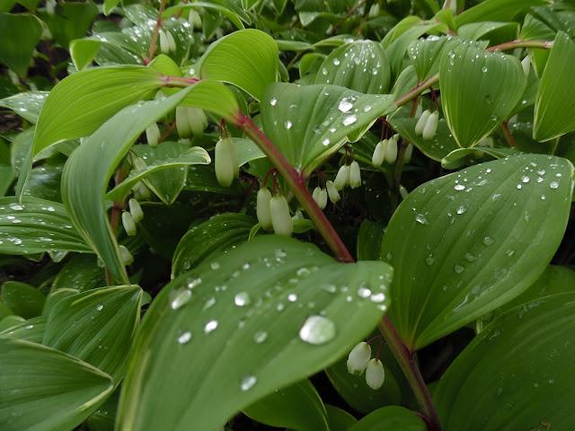 kwiaty kokoryczki