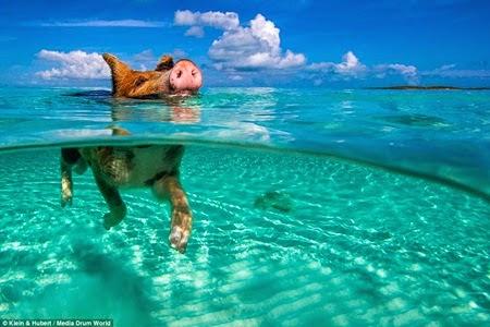 Lợn siêu kình ngư bơi thuần thục