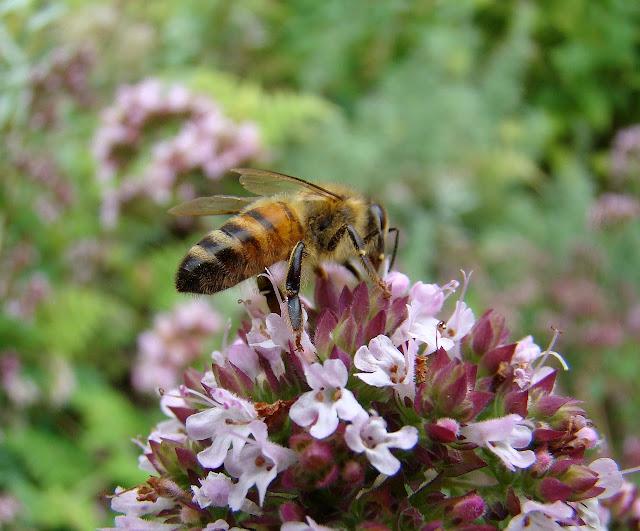 Abeja sobre planta en floración. Refugio de fauna auxiliar: polinizadores.