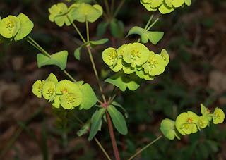 Tártago de bosque (Euphorbia amygdaloides)