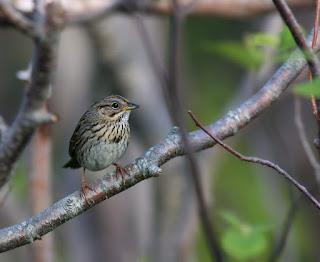 Lincolns Sparrow photo identification