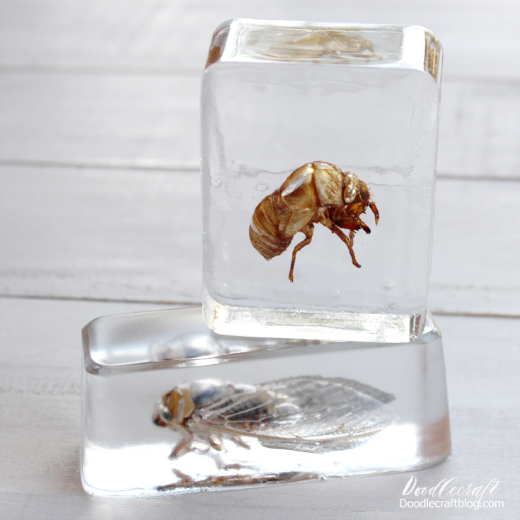 Collect husks and insect bodies to encase in clear casting resin perfect for specimens, study and S.T.E.A.M. camp crafts