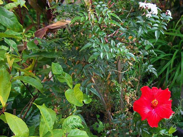 Jasmine, Hibiscus, garden, flowers
