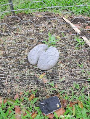 double coconut Lodoicea maldivica