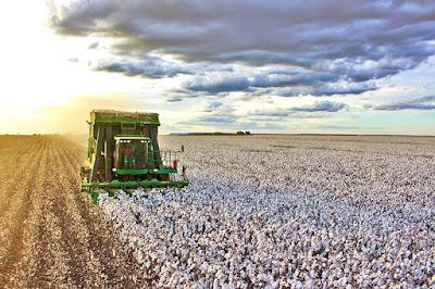 Colheita do algodão avança no oeste da Bahia