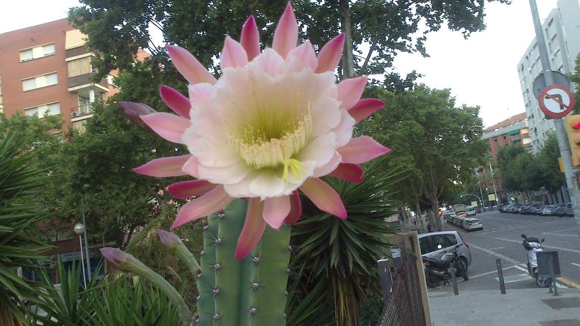 Una Luz, Una Esperanza: Flor De Cactus En Haikús