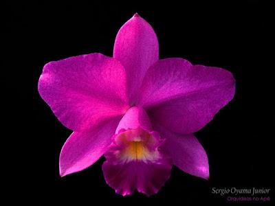 Orquídea Laeliocattleya Mini Purple