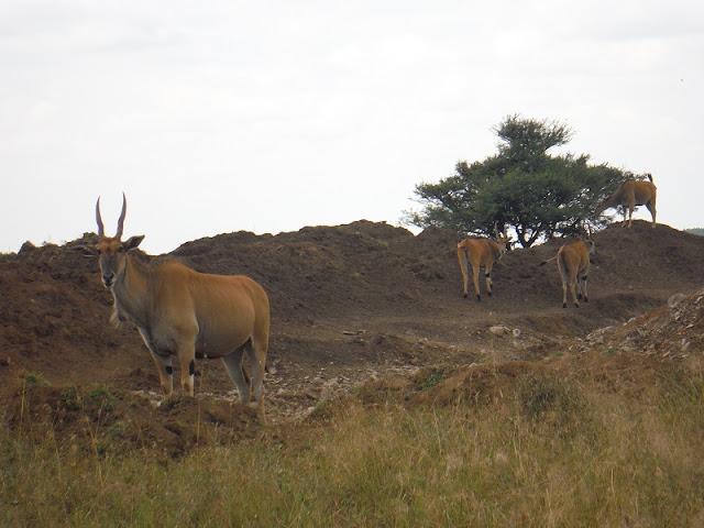 Nairobi National Park, Eland común