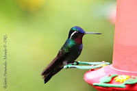Colibrí montañes gorgimorado, Purple throated Mountain gem, Lampornis calolaemus