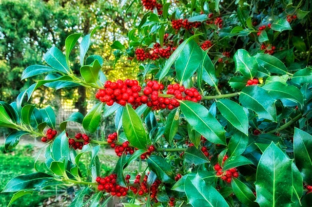 Holly ilex aquifolium red berried winter evergreen