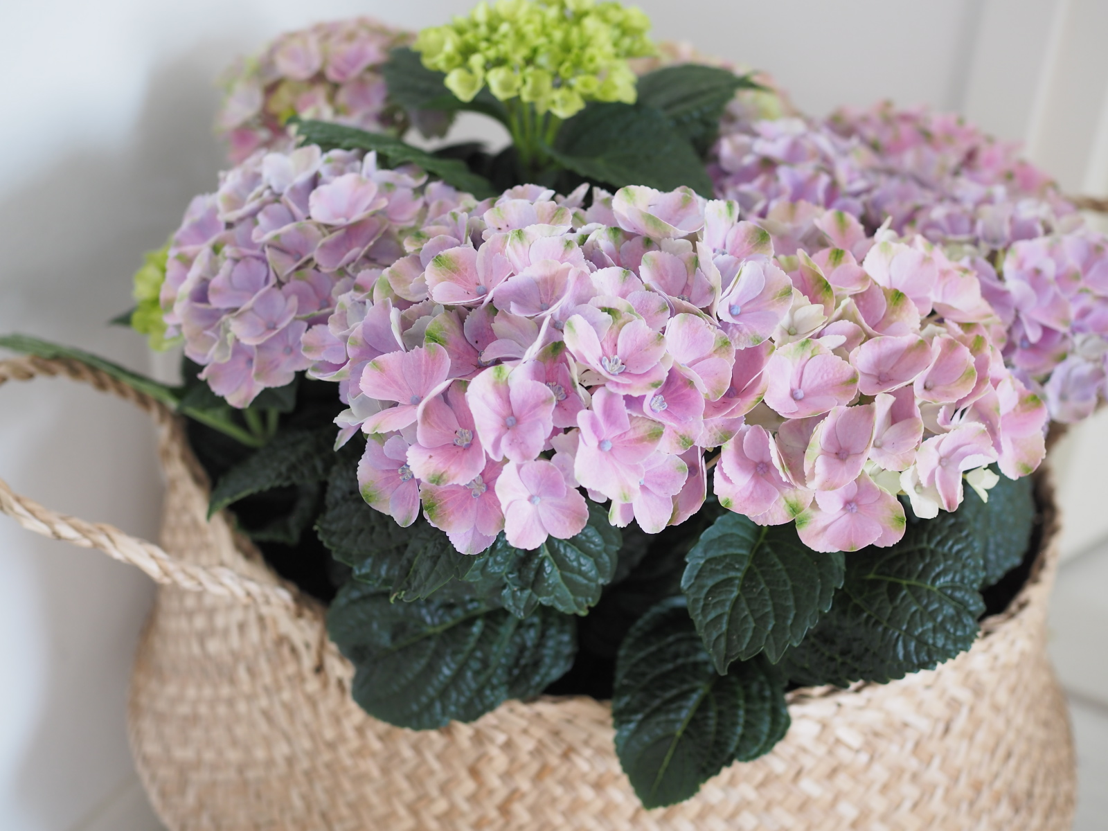 placefordreams.hortensia.jpg
