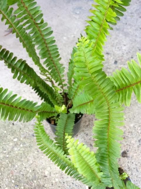 Paprat - saveti o nezi biljke