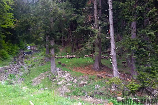 oi in munții Bucegi