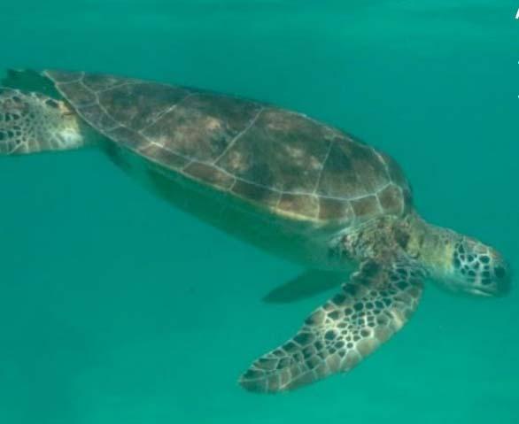 en mexico tras las tortugas marinas