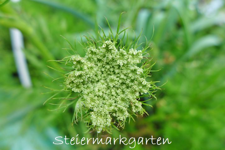 Karottenblüte-Möhrenblüte-Steiermarkgarten