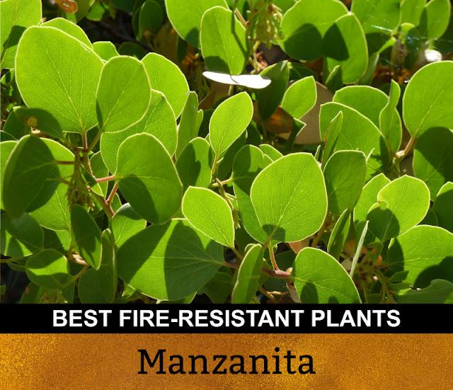 Best Fire Resistant Plants Manzanita