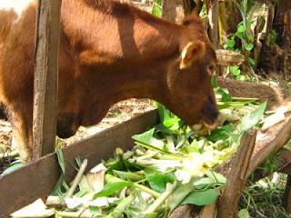 Trâu, bò luôn có nguy cơ ngộ  độc hóa chất từ thức ăn.